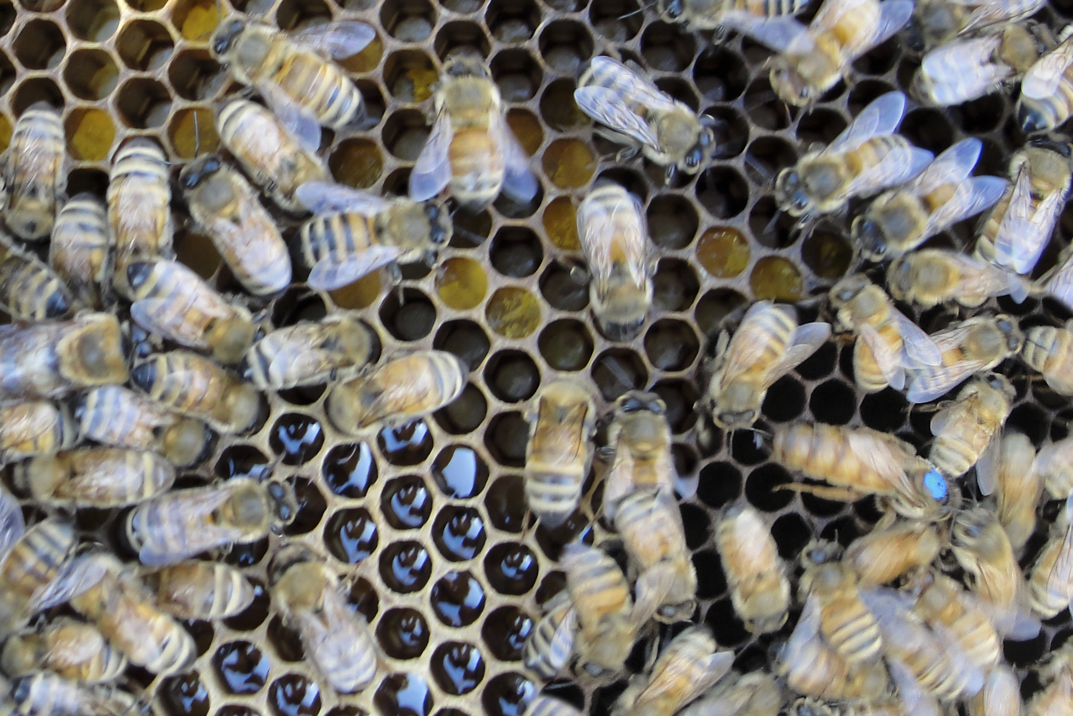can you spot the Queen bee in this hive