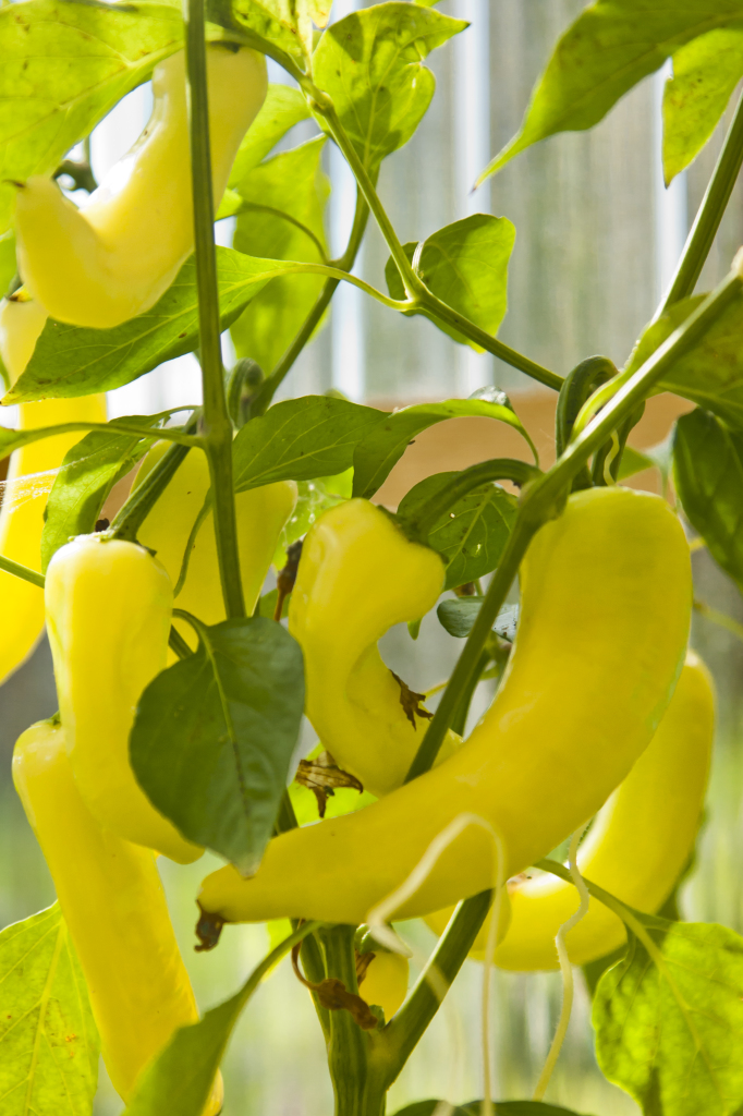 greenhouse wax peppers